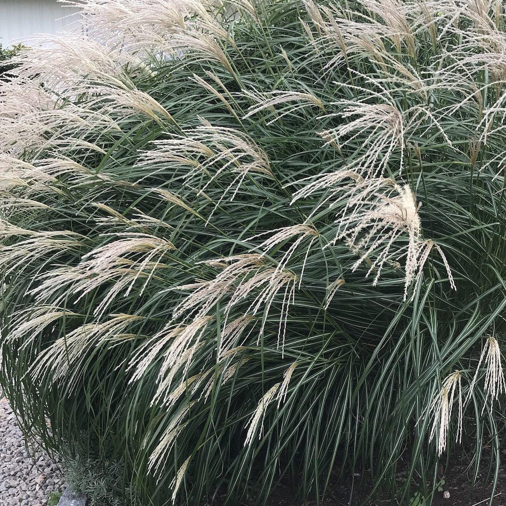 Gräs vippor miscanthus Gräs är vackert i din designade trädgård att trivas i. Gå kurs i trädgårdsdesign Anmäl