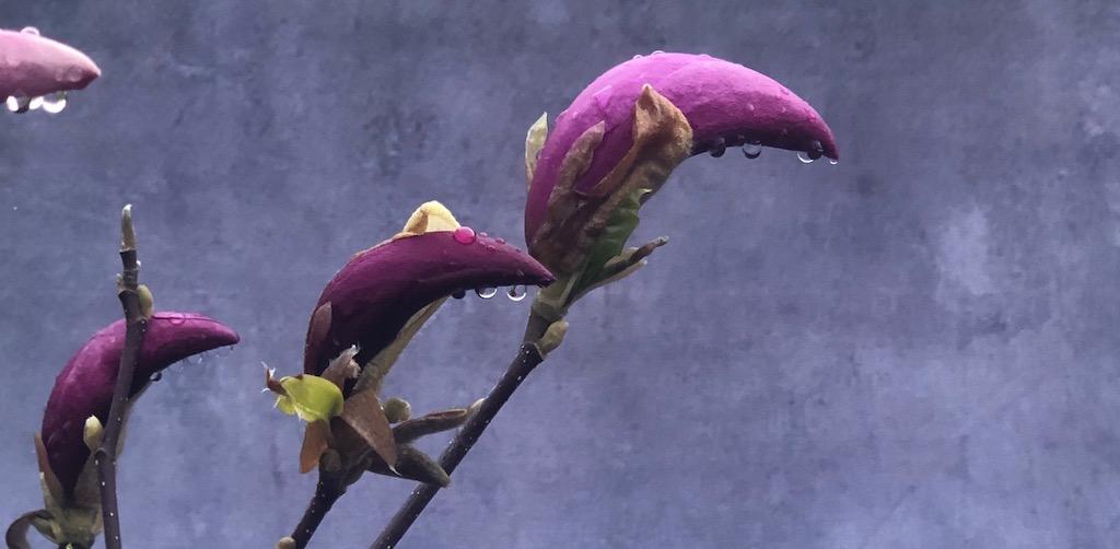 magnolia vattendroppar Susan Designförslag Rådgivning